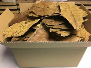 "Catappa Indian Almond Tropical Almond Ketapang Leaves 7""- 8"" (30Pcs+Free 10Pcs)"