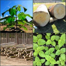 Paulownia Elongata New Forest Tree Seeds 100 Seeds Pack Fast Growing Tree Paulow