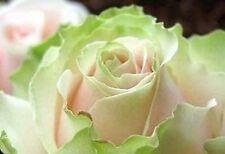 Rare Dancing Queen Rose Flower Seeds Garden Plant, (Buy 1 Get 1 15% Off)