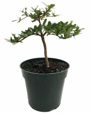 "Pre Bonsai Tree Dwarf Black Olive Plant Bucida Spinosa 4""Pot Indoor Best Gift"