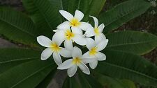 Plumeria White 3 cuttings for price of 15.99!  Florida Grown Free shipping in US