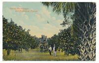 Among The Orange Groves and Palmettos Florida FL Citrus Postcard c. 1910