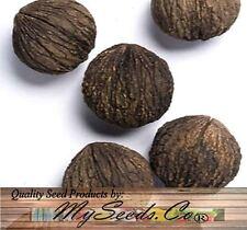 (5) Black Walnut Tree Seeds , Juglans Nigra - Northern - HARDY ZONE 5+  Comb S&H
