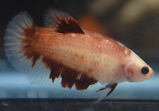 live betta fish- IMPORTED female- FANCY BUTTERFLY HMPK - CLEARANCE OVERSTOCK