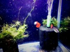 Pair Red Rose Guppy ( 1 male & 1 female)- Really Pretty!