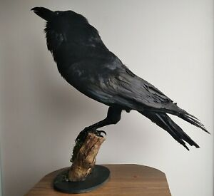 Taxidermy Stuffed Bird raven, crow  (Corvus corax)