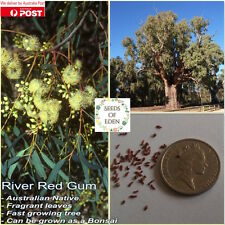 50 RIVER RED GUM SEEDS(Eucalyptus camaldulensis); Native to Australia