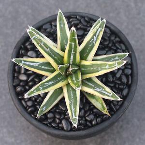 Agavaceae Succulent variegated potted Home Garden decoration Plants 6-7cm