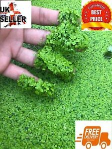 Duckweed Lemna Minor Oxygenating Plant Pond Food Hide Tropical Coldwater Fish UK
