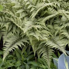 Athyrium 'Ghost' Fern Rare Live Perennial Plant