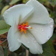 Rare St. Helena Ebony! - Trochetiopsis x benjamini - Beautiful Hibiscus relative