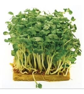 Mustard- White :) 100+ seeds. Heirloom, non-GMO. Instructions Included x