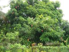 300 Fresh Mango Leaves leaves Cooking,Tea,Diabetes,Herb al,Health Food,Medicine!
