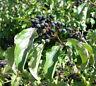100 Samen Saat Roter Hartriegel - Cornus sanguinea