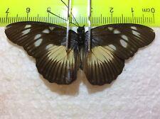 UAP 16 A+/A   Hypolimnas anthedon junoniini  Nymphalidae