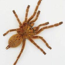 Usambara Orange Baboon Pterinochilus Murinus 6-8cm bug spider tarantula