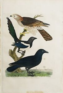 "ORIGINAL Hand Colored Engraving  ""American Ornithology"" Alexander Wilson 1828-29"