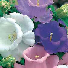 Canterbury Bells ' Cup and Saucer' Mix 125 seeds flower garden