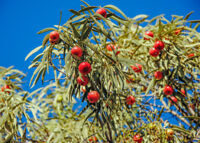 Zimmerbaum Samen Rarität seltene Pflanzen schnellwüchsig SANDELHOLZ-BAUM