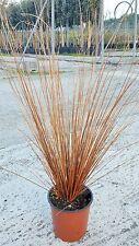 Graminacee - Carex Buchananii vaso 17 (OFFERTA 25 piante)