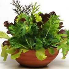 2000 Gourmet Lettuce Seeds Mixture - Many Varieties - COMB S/H