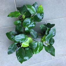 3x Anubias Nana Potted - Aquarium Plant - Tropical - Easy Grow - Quality