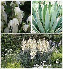 50 semi di Yucca filamentosa, piante succulente,seed succulents