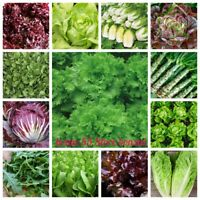 100/% HYDROPONIC SEEDS 2,700 Thai Green Lettuce Seeds Lactuca Sataiva Seeds