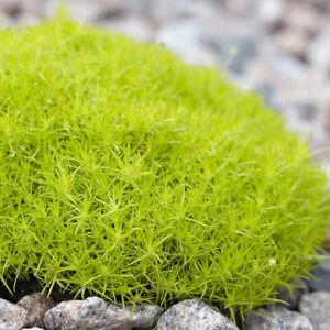 Sagina 'Moss Lime' XL Plug Plant x 2. Compact ground cover