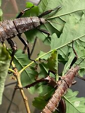 20Eggs of Eurycantha calcarata stick insect / phasmids / Phasme