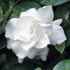 50 Gardenia / Cape Jasmine Jasminiodes White Shrub Flower Seeds *Comb S/H & Gift