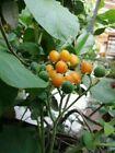 100 Graines de Tamarillo Jaune /'Cyphomandra Betaceum Yellow/' tree seeds