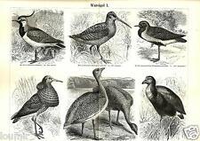 1888= UCCELLI TRAMPOLIERI = Ornitologia = Animali = Antica Stampa = Old ENGRAVIN