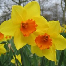 PRE-ORDER - 20 x  Fortune Daffodil bulbs,Make a display of Bright Spring bulbs.