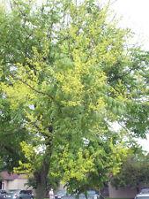 30 GOLDEN RAIN TREE SEEDS - Koelreuteria paniculata