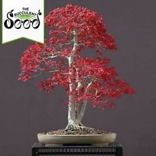 Red Leaf Japanese Maple - Acer palmatum atropurpureum (50 Bonsai Seeds)