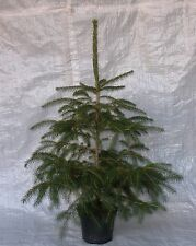 Real Norway Spruce, Container Grown Living Christmas Tree. 75 - 100cm. inc. Pot