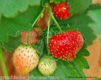 🔥 🍓 Monats Erdbeere  aromatische kleine Erdbeeren 20 frische Samen Balkon