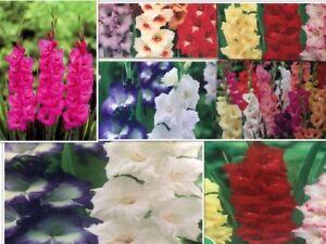 GLADIOLI BULBS/CORMS/TUBER FRESH GARDEN SUMMER CUT FLOWER PERENNIAL PLANT SPRING