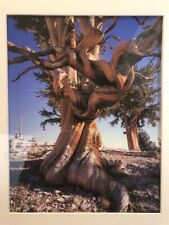 Laurent Matres Color Bristle Cone Pines Ancient Patriarch Photo 10 1/2� X 13 1/2