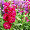 50 Violet Seeds Of Each Pack Matthiola Incana Flower Seeds Hot A001 For Gift