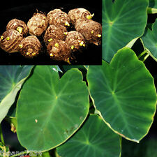 10 Small Green Taro Bulbs Roots Koi Pond Tropical Plant Edible Ready to Grow