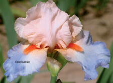 **FRENCH CANCAN** Tall Bearded Iris. Freshly Dug, Combined Shipping:  Aug/Sep