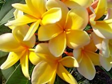 IRMA SALE!!!  TWO live Plumeria cuttings - YELLOW -  tropical plants