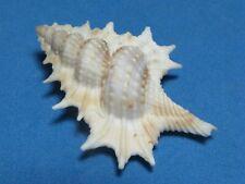 """Biplex pulchrum Gray > Sowerby I, 1836 """"MAPLE LEAF FROG""""  (47.6mm)"""