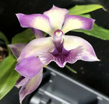 Zygo. Bluebirds Orchid Plant