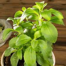 STEVIA SWEET HERB PLANT SEEDS - 7 SEED PACKET - NON-GMO, HEIRLOOM HERBAL GARDEN