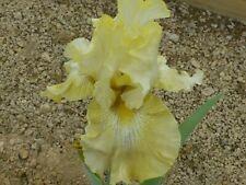 Tall bearded iris Again and again