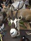 Gemsbuk Oryx Shoulder Mount Taxidermy New Holland PA