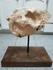Dinosaur Fossil Homotherium Saber Tooth Cat Tiger Skull Machairodus Smilodon